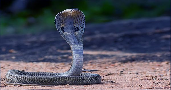 Spitting Cobras May Have Evolved Unique Venom to Defend From Ancient Humans
