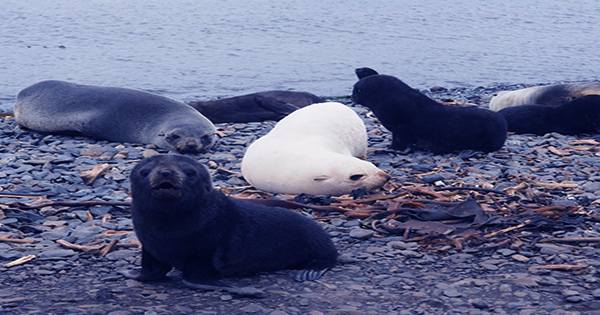 Stop what you're doing and Look at These Velvety Melanistic Seal Pups