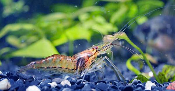 These Fish Keep Shrimps as Pets to Help Them Farm Algae