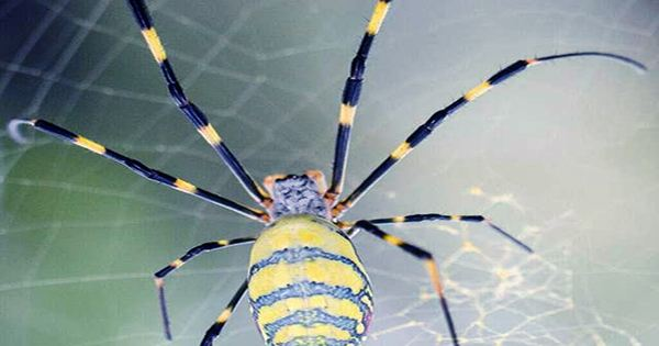 Tiny Spider Engineers Use Silk Pulley Systems to Lift Prey 50 Times Their Weight
