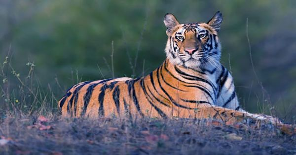 Watch As a Tiger Is Released Into Its New Home in India