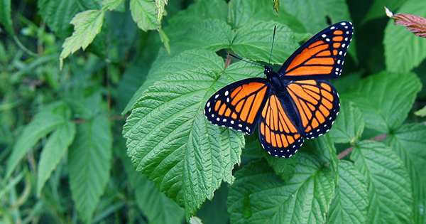 Western Monarch Butterflies on Extinction Path after Record Low Winter