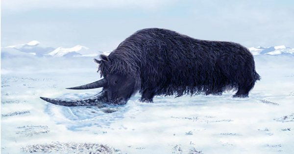 Incredibly Well-Preserved Young Woolly Rhino Revealed By Melting Permafrost