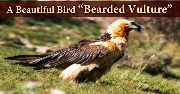 "A Beautiful Bird ""Bearded Vulture"""