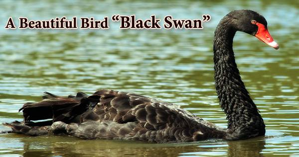 "A Beautiful Bird ""Black Swan"""