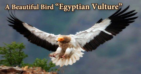 """A Beautiful Bird """"Egyptian Vulture"""""""