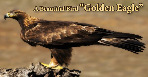 "A Beautiful Bird ""Golden Eagle"""
