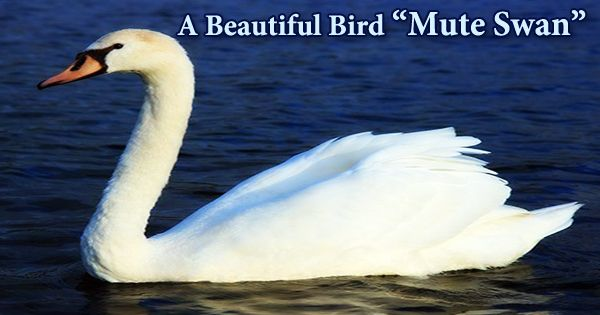 "A Beautiful Bird ""Mute Swan"""
