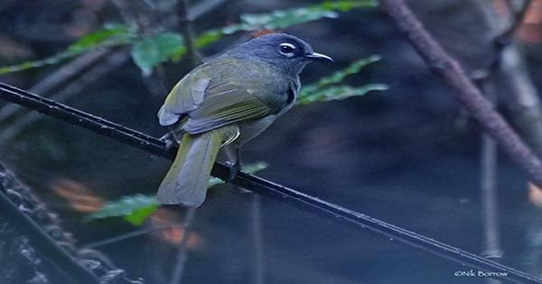 Black-Browned Babbler Bird Rocks Up Alive After 170 Years Of Science Thinking It Was Extinct