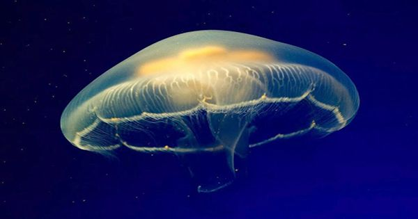 Box Jellyfish Sting Kills Teenager, First Fatality From One In Australia For 15 Years