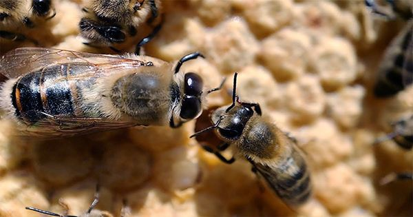 Brilliant Video of Bee Whisperer Rescuing Hive with Her Bare Hands Watched By Millions