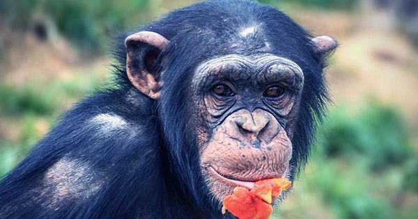 Chimpanzees Help Without Reward And Unite Against Common Foes