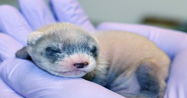 Meet Elizabeth Ann, The World's First Cloned Black-Footed Ferret