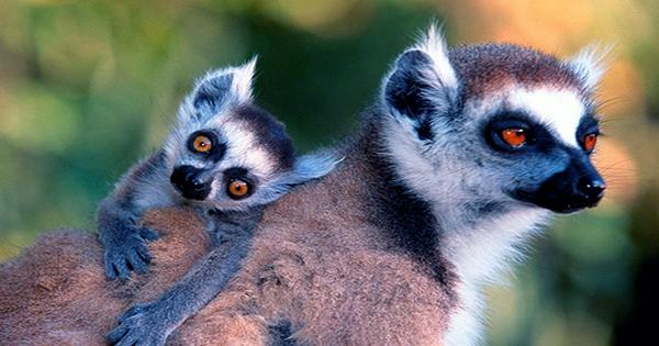 Monogamous Lemur Brains Reveal Not All Lasting Love Works The Same