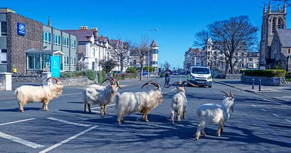 Notorious Goats Take Over Welsh Town Again After COVID Cancels Contraception Drive
