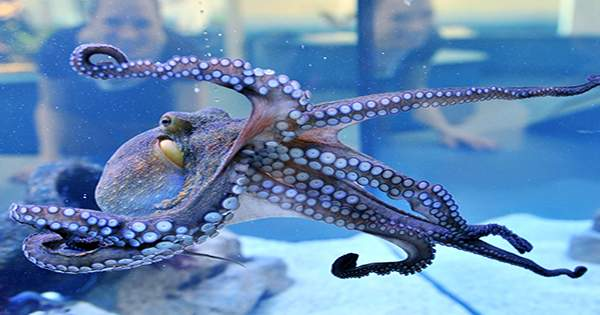 Octopuses May Feel Pain Physically And Emotionally, Similar To Mammals