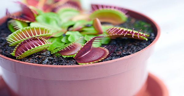 """Scientists Develop Device to """"Communicate"""" With Venus Flytraps Using Electrical Signals"""