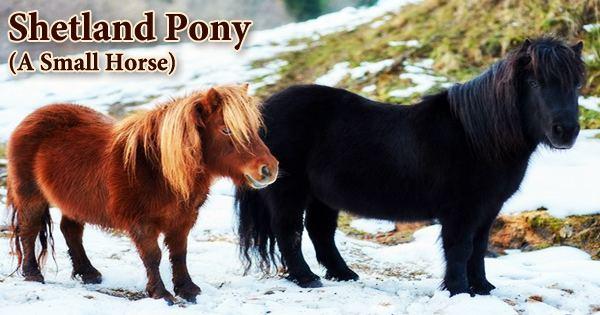 Shetland Pony (A Small Horse)