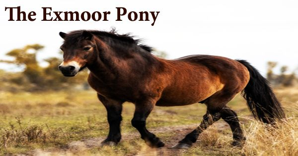 The Exmoor Pony (Britain's Oldest Native Breed)