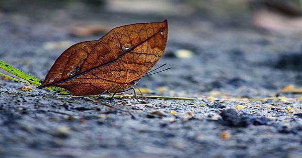 This Dried Up Bit Of Foliage Is Actually Alive, Meet The Dead Leaf Butterfly