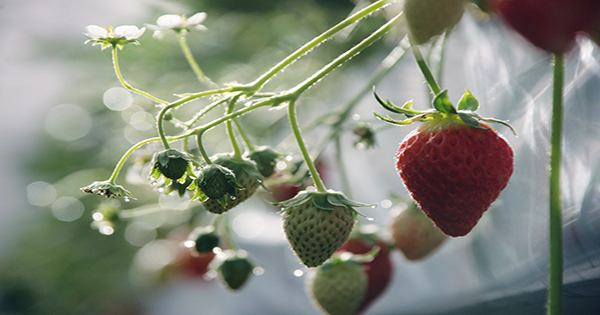 Who knew high-tech farming of high-priced Japanese strawberries could be worth $50 million to investors?