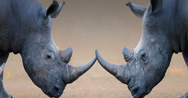 Why Rhinos Are Best Transported Upside Down By Helicopters