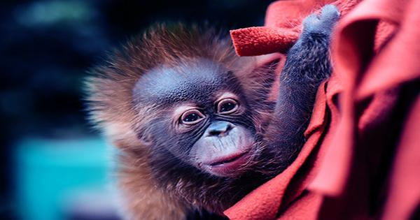 Wildlife Rescuers Saved A Baby Orangutan Named Bomban From Life In A Tiny Cage