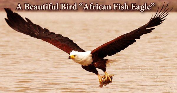 "A Beautiful Bird ""African Fish Eagle"""