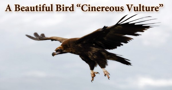 """A Beautiful Bird """"Cinereous Vulture"""""""