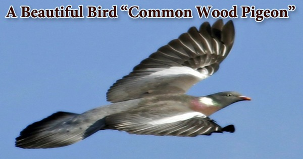 "A Beautiful Bird ""Common Wood Pigeon"""