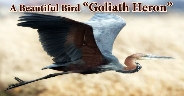 "A Beautiful Bird ""Goliath Heron"""