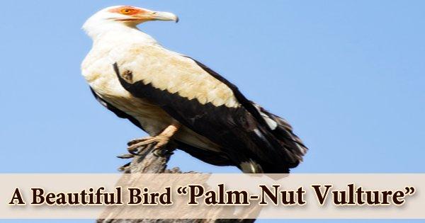 "A Beautiful Bird ""Palm-Nut Vulture"""