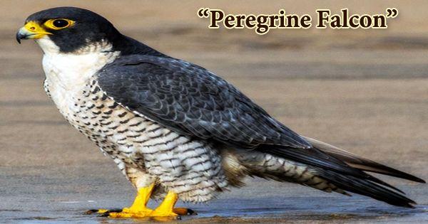 "A Beautiful Bird ""Peregrine Falcon"""