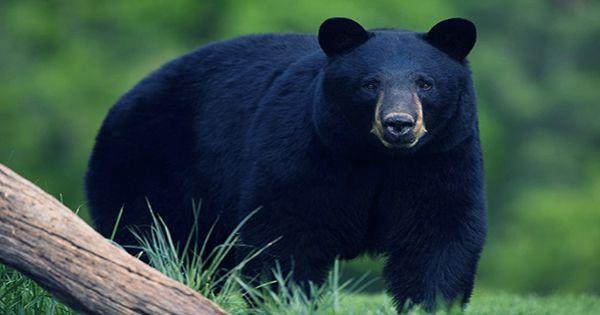 An Unknown Disease Is Giving Bears Dog-Like Friendliness – And It's Dangerous, Not Cute