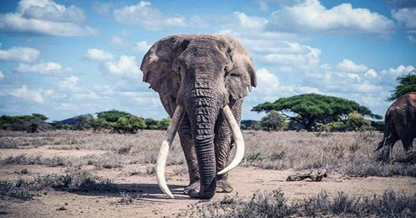 Both African Elephant Species Are Now Officially Listed As Endangered