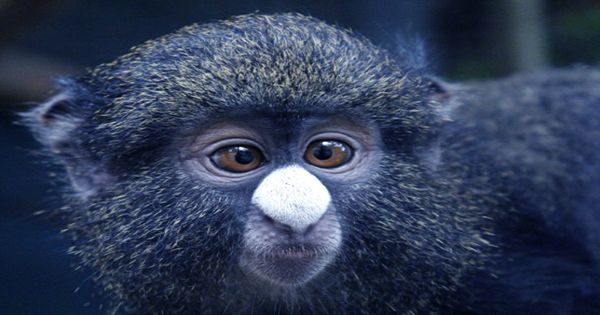 Female Putty-Nosed Monkeys' Warning Calls Summons Males To Fight Off Predators