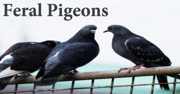 """A Beautiful Bird """"Feral Pigeon"""""""