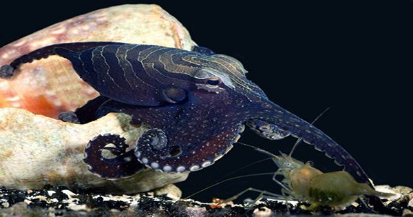 My Octopus Teacher Hired a Cephalopod Psychologist To Better Understand Its Star's Behavior
