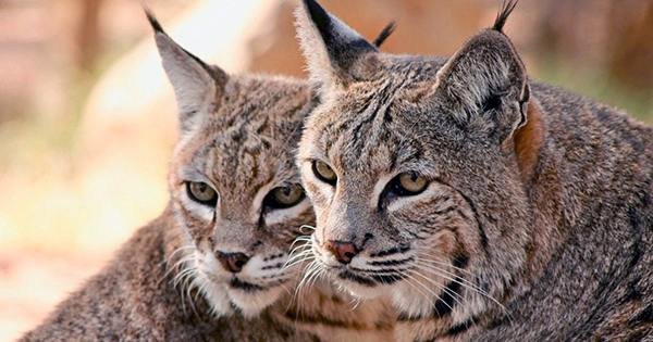 Orphaned Bobcat Brother And Sister Have Been Returned To The Wild In Monterey