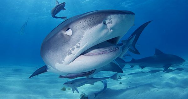Personal Electronic Shark Deterrents Could Reduce Attack Risk, Saving Sharks In The Process