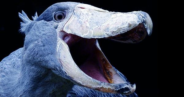 prehistoric-looking Shoebill Chicks Have A Pretty Grim Strategy For Growing Up Strong