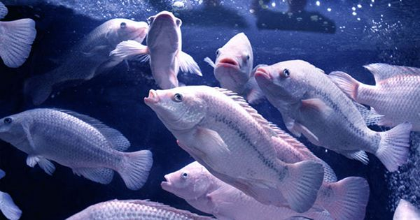 "Remote-Controlled Fish Tank Enables Scientists To Study Fish Without Them ""Exploding"""