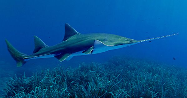 The Largest Smalltooth Sawfish Since Records Began Found Dead In Florida Keys