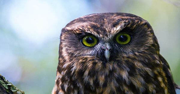 This Morepork Owl's Bath Transformation Is A Meme Waiting To Happen