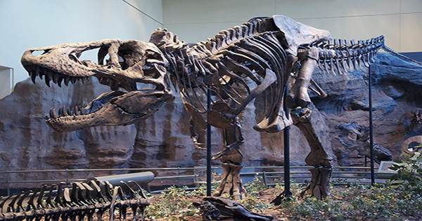 Tyrannosaurs May Have Hunted In Packs Rather Than Being Solitary Predators