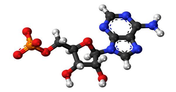 Adenosine monophosphate – a nucleotide