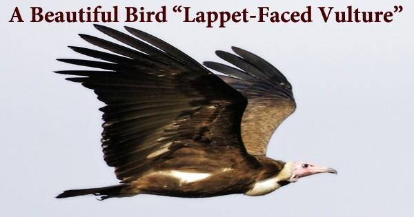 """A Beautiful Bird """"Lappet-Faced Vulture"""""""