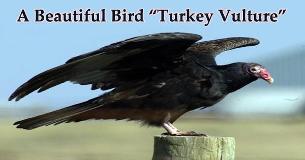 "A Beautiful Bird ""Turkey Vulture"""