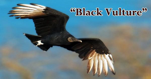 "A beautiful bird ""Black Vulture"""