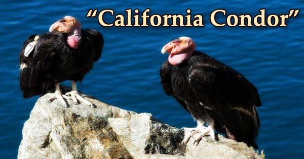 "A beautiful bird ""California Condor"""
